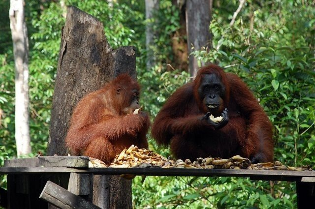 indonesia forest fires push orangutans to starvation report 1 - Analysis: China's post-lockdown emissions surge shows signs of cooling