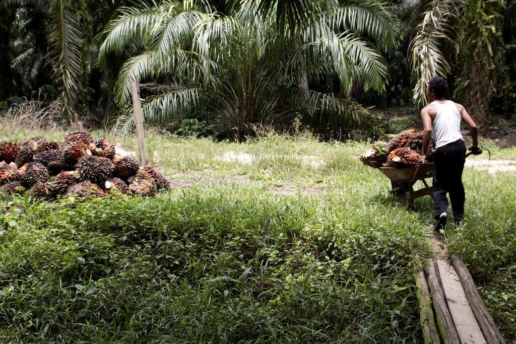 upgrade of indonesian palm oil certification falls short groups say 1 - Women on storm-hit Philippine island spearhead Indigenous effort to restore mangroves