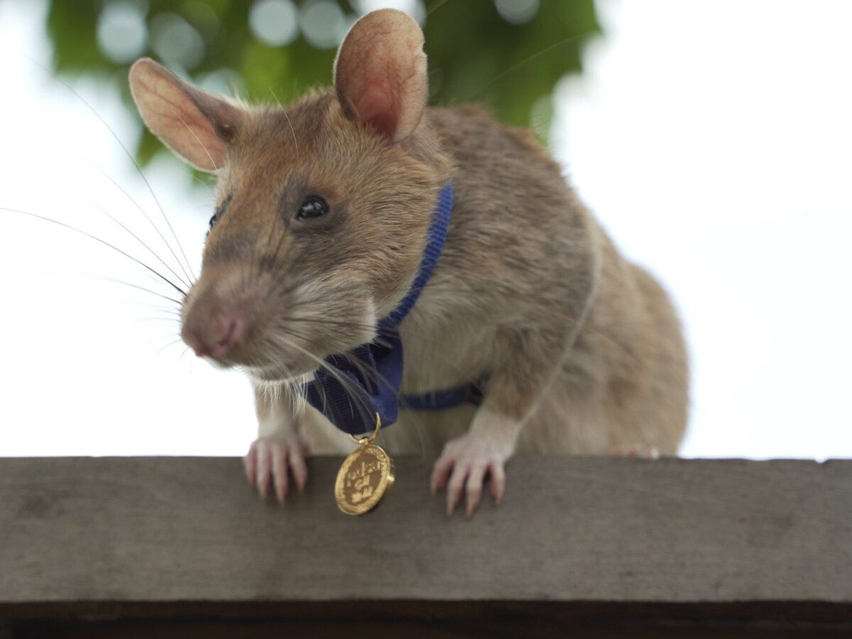 cambodia landmine detection rat awarded miniature gold medal for lifesaving bravery 3 - Norway's Telenor Writes Off its Myanmar Operation Amid Crisis
